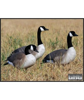 GHG Canada Lokkegæs med flock