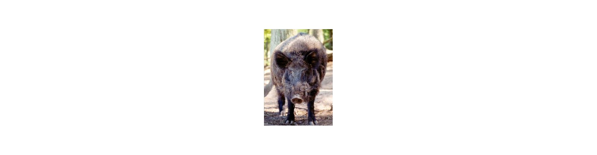 Lokkekald vildsvin - Kvalitets vildsvin lokkekald til de bedste priser